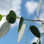 ユーカリの挿し木で発根させるためには温度管理が重要!